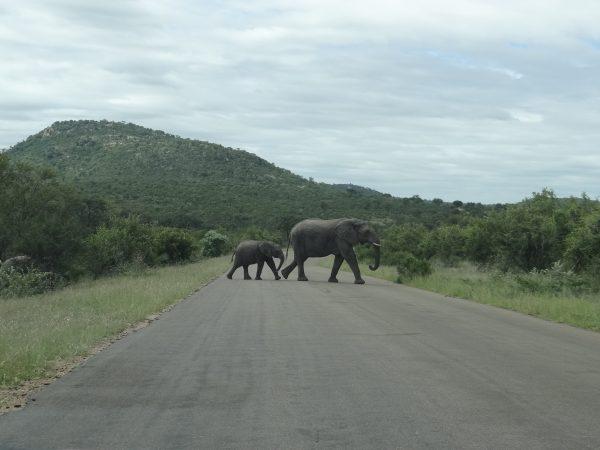 Kruger - Família de Elefantes passando em frente ao carro